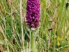 thumbs marsh orchid Flotta Flora