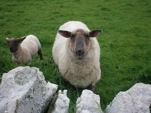 Flotta sheep