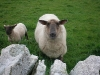 Flotta sheep